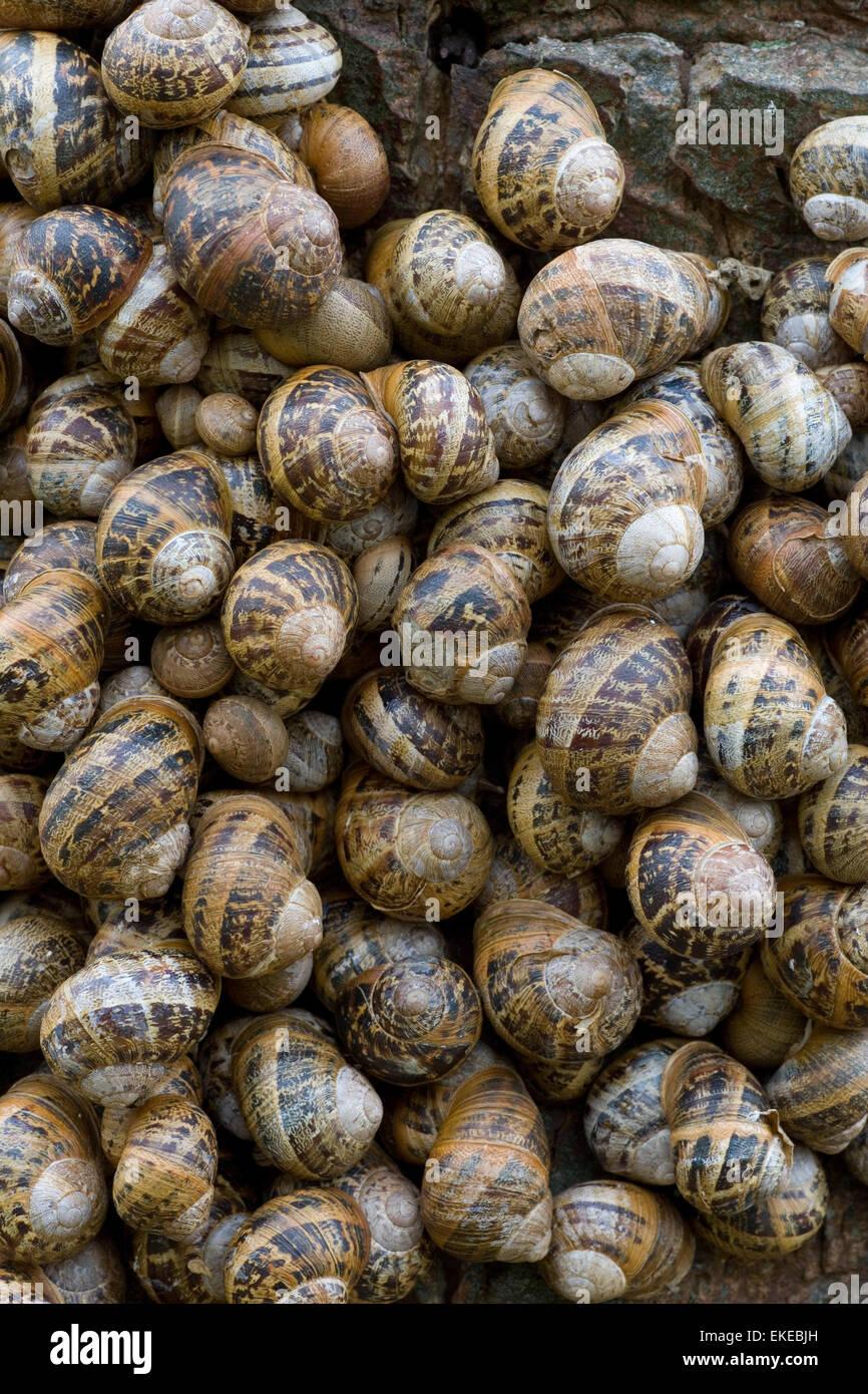 Garden Snail - Cornu aspersum - Stock Image