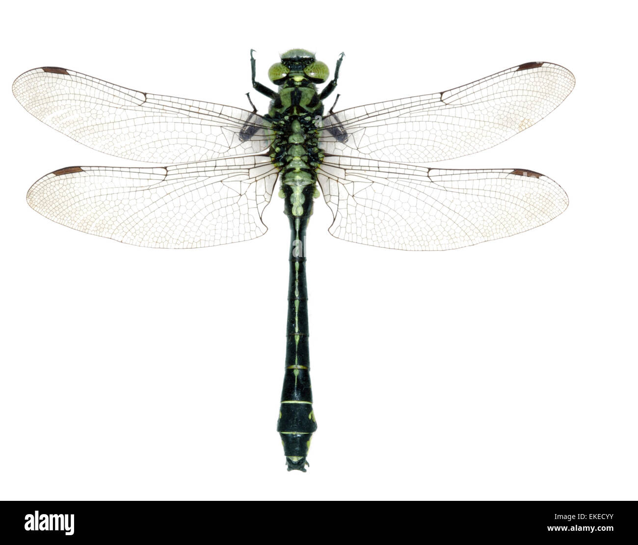 Club-tailed Dragonfly - Gomphus vulgatissimus - Stock Image