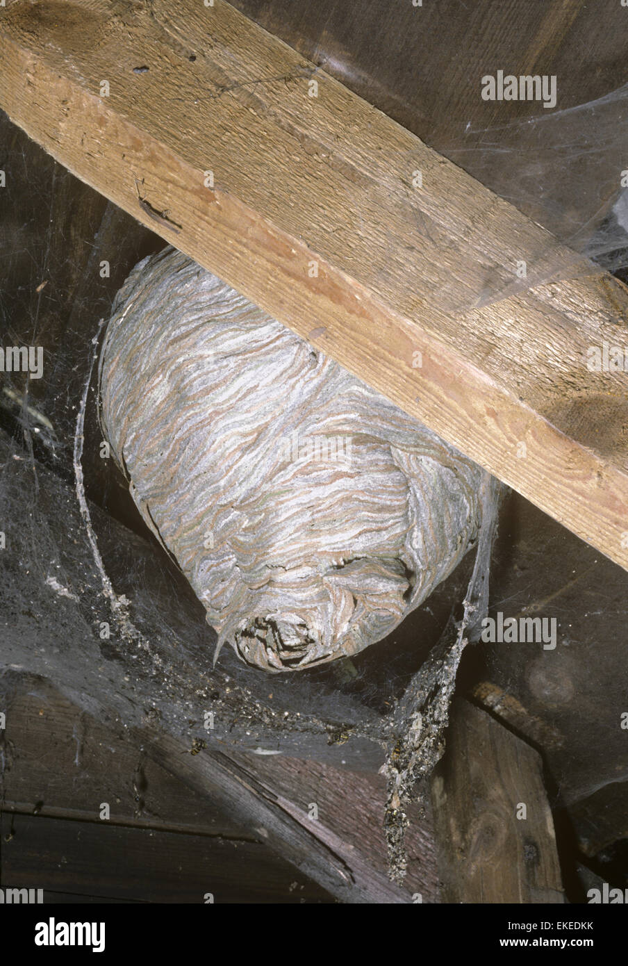 Common Wasp Nest - Vespa vulgaris - Stock Image