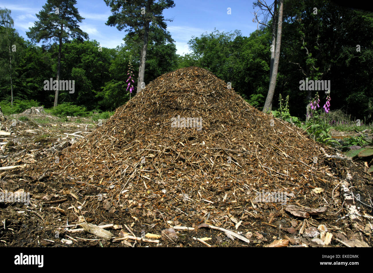 Wood Ant Nest - Formica rufa - Stock Image