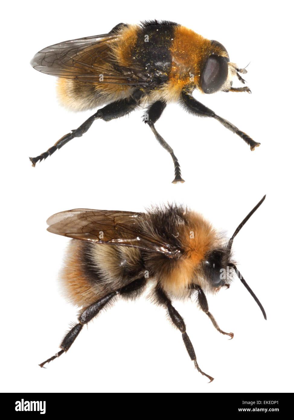 Bumblebee Bombus lucorum (bottom) and hoverfly mimic (top) Volucella bombylans - Stock Image