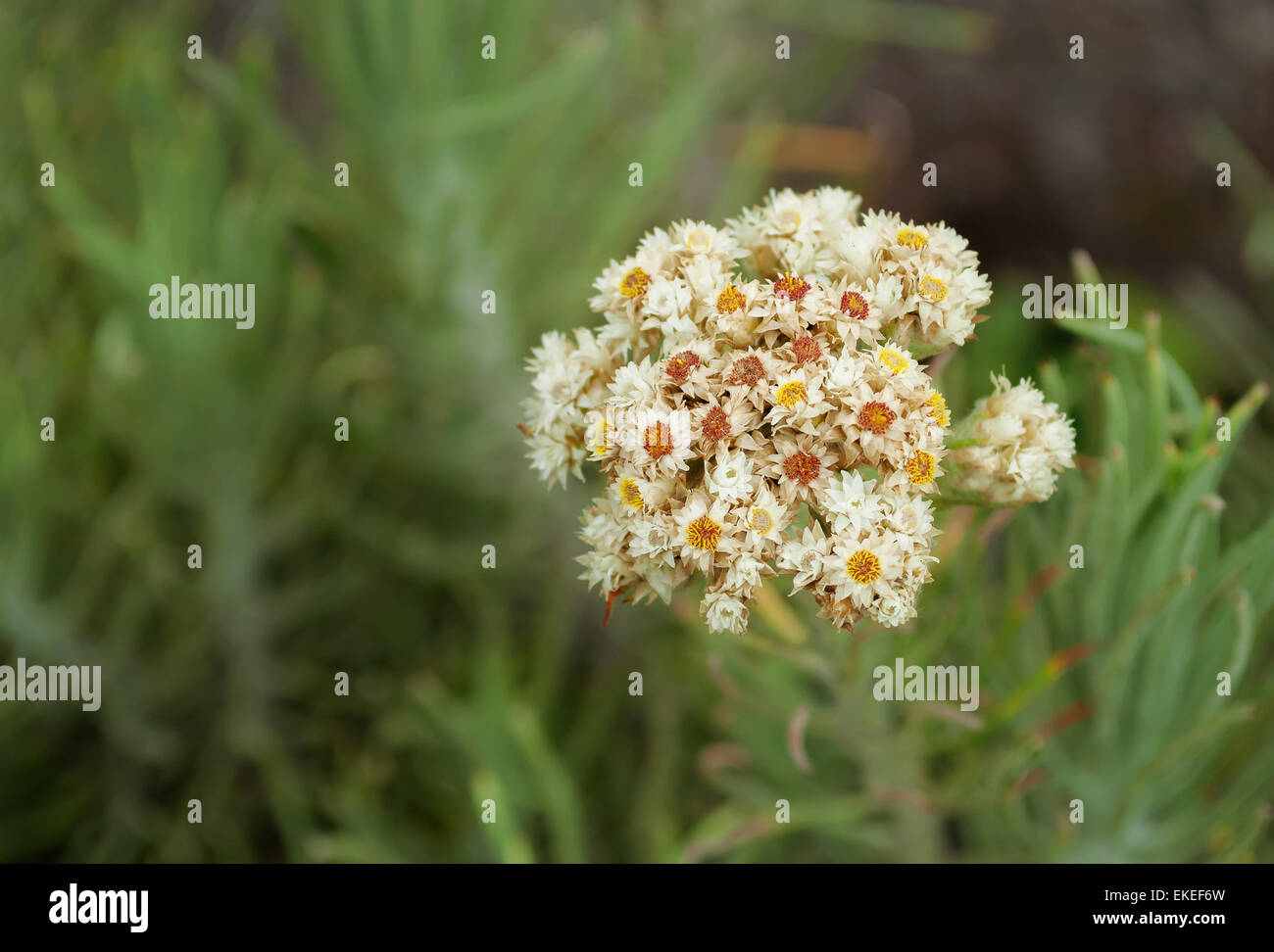 Edelweiss flower on top of Volcano Merapi. West Sumatra. Indonesia - Stock Image