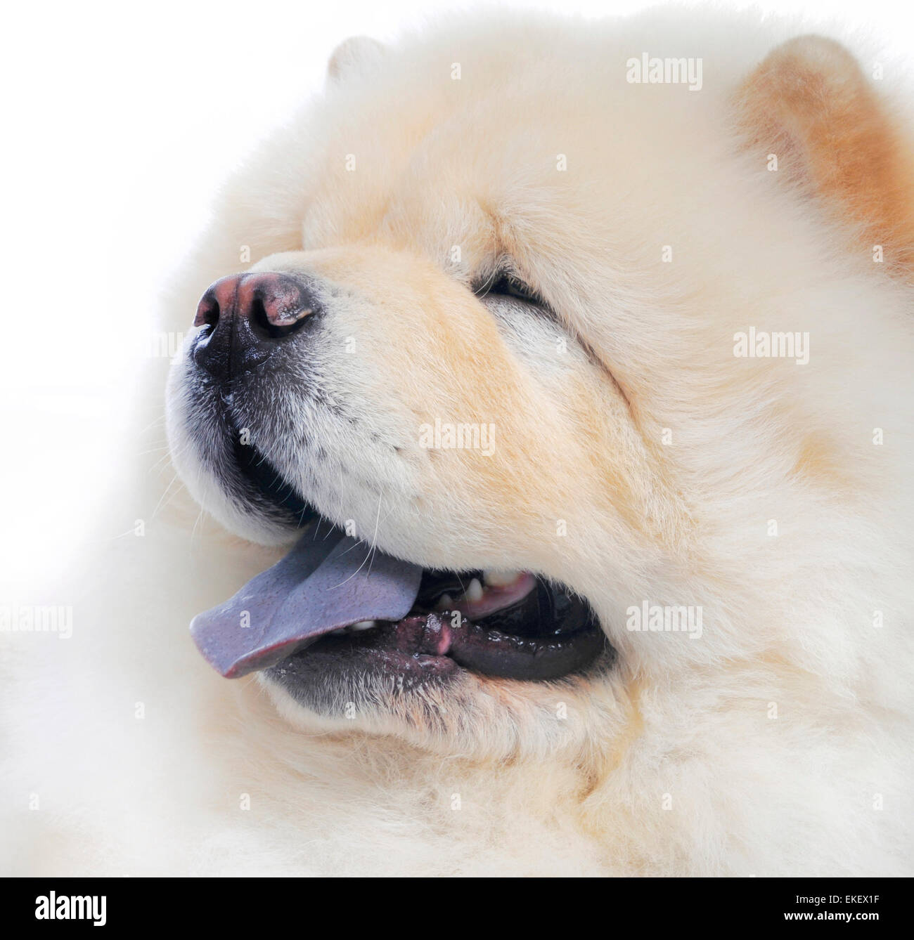 chow chow  in studio - Stock Image