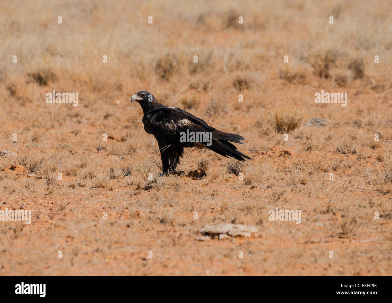Wedge tailed eagle Aquila audax, perched on the ground, Winton, Queensland, Australia - Stock Image