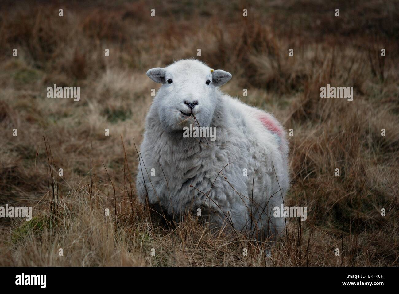 A Sheep Chewing Stock Photos & A Sheep Chewing Stock Images - Alamy