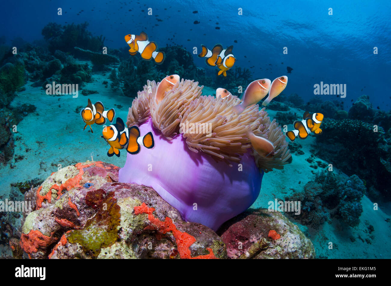 Clown anemonefish (Amphiprion percula) and Pink anemonefish (A perideraion) with magnificent anemone on coral reef. - Stock Image
