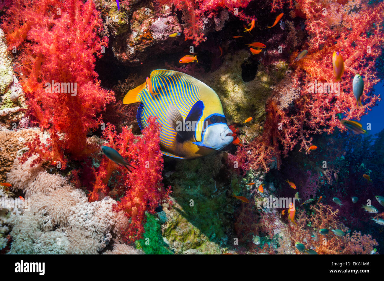 Emperor angelfish at a cleaning station amongst soft corals, where small cleaner shrimps operate.  Egypt Red Sea - Stock Image
