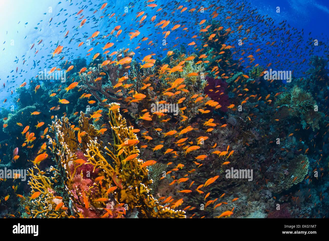 Lyretail anthias or Goldies (Pseudanthias squamipinnis) over coral reef, feeding in the current.  Egypt, Red Sea. Stock Photo