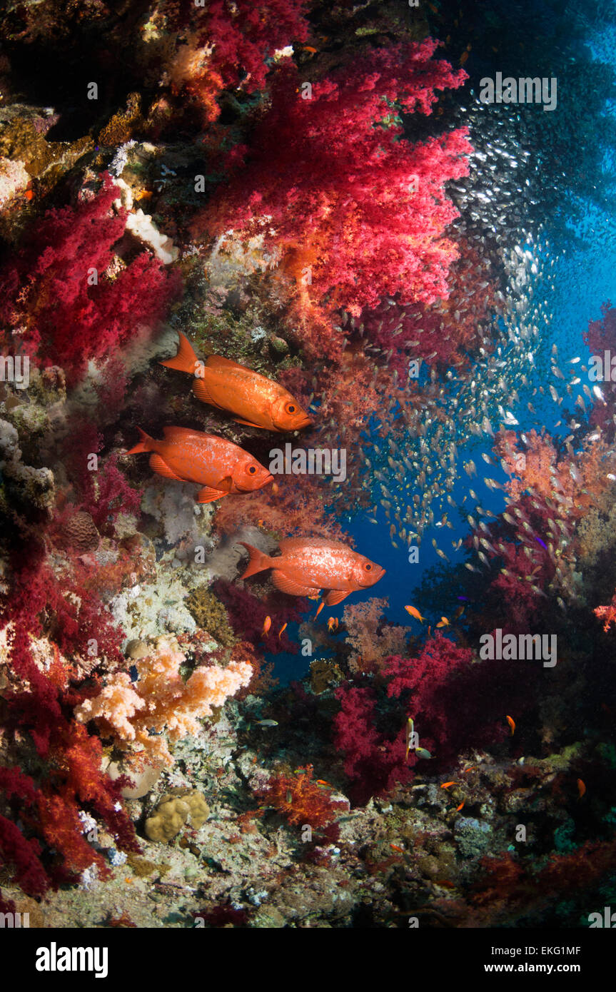 Coral reef with soft corals Bigeye or Goggle-eye and a school of Pygmy sweepers Egypt Red Sea - Stock Image