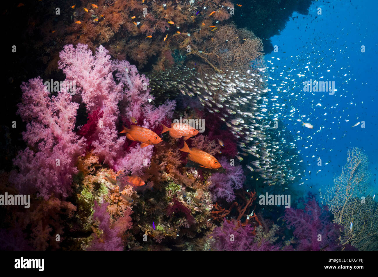 Coral reef with soft corals (Dendronephthya sp), Bigeye or Goggle-eye (Priacanthus hamrur) and a school of Pygmy - Stock Image