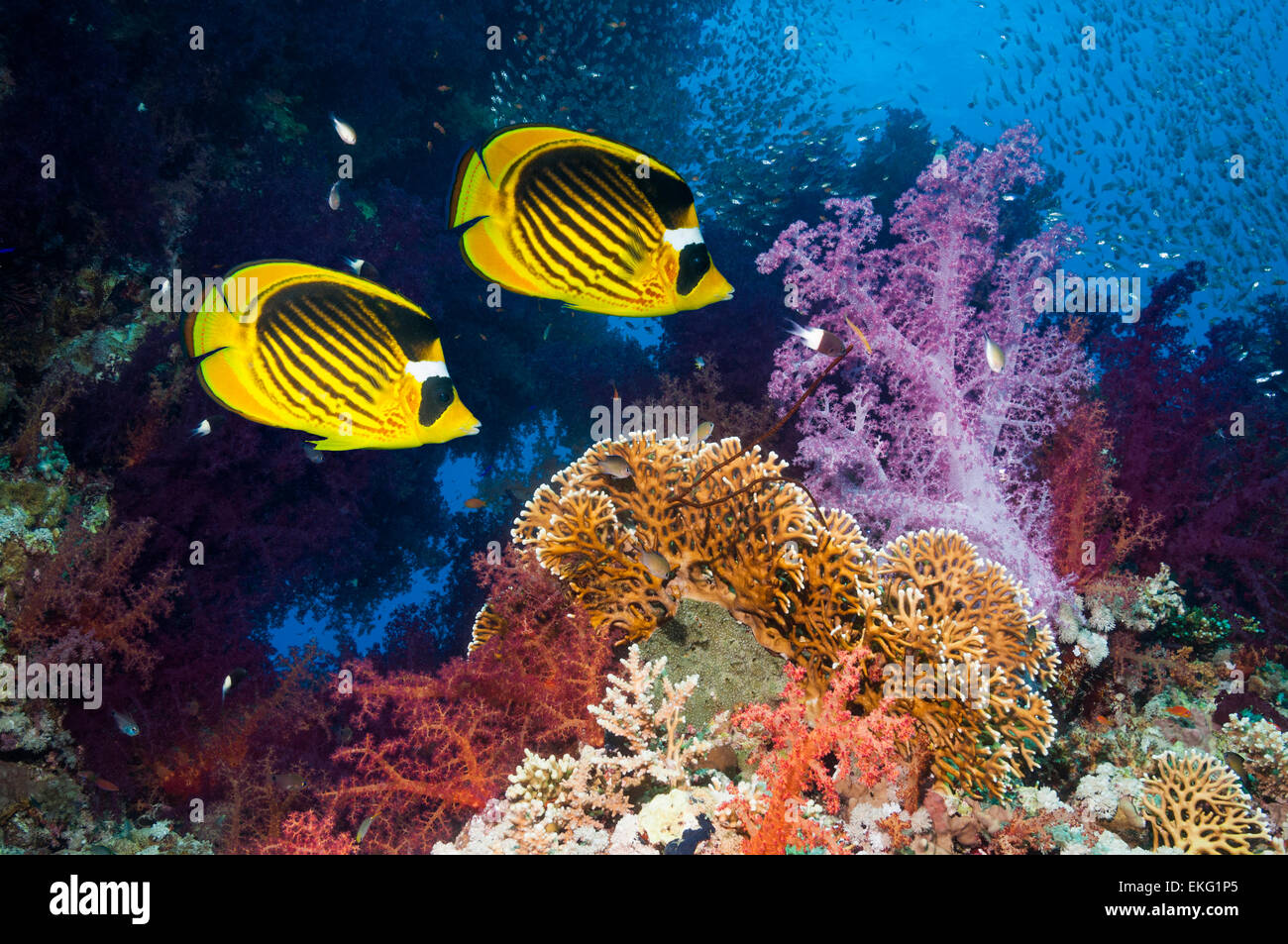 Coral reef scenery with Red Sea raccoon butterflyfish [Chaetodon fasciatus] and soft corals (Dendronephthya sp). - Stock Image