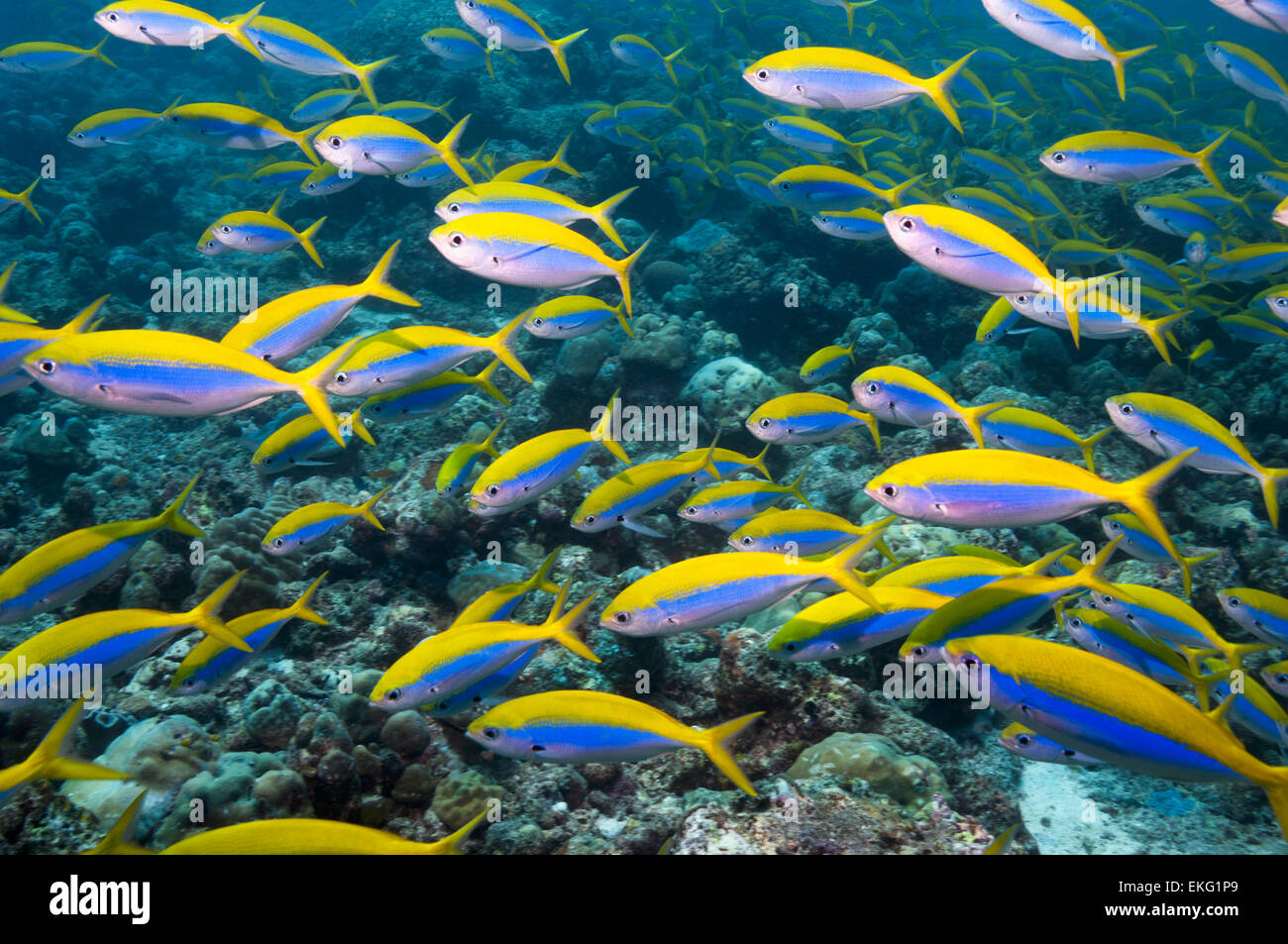 Yellowback fusilier [Caesio xanthonota] school over coral reef.  Maldives. - Stock Image