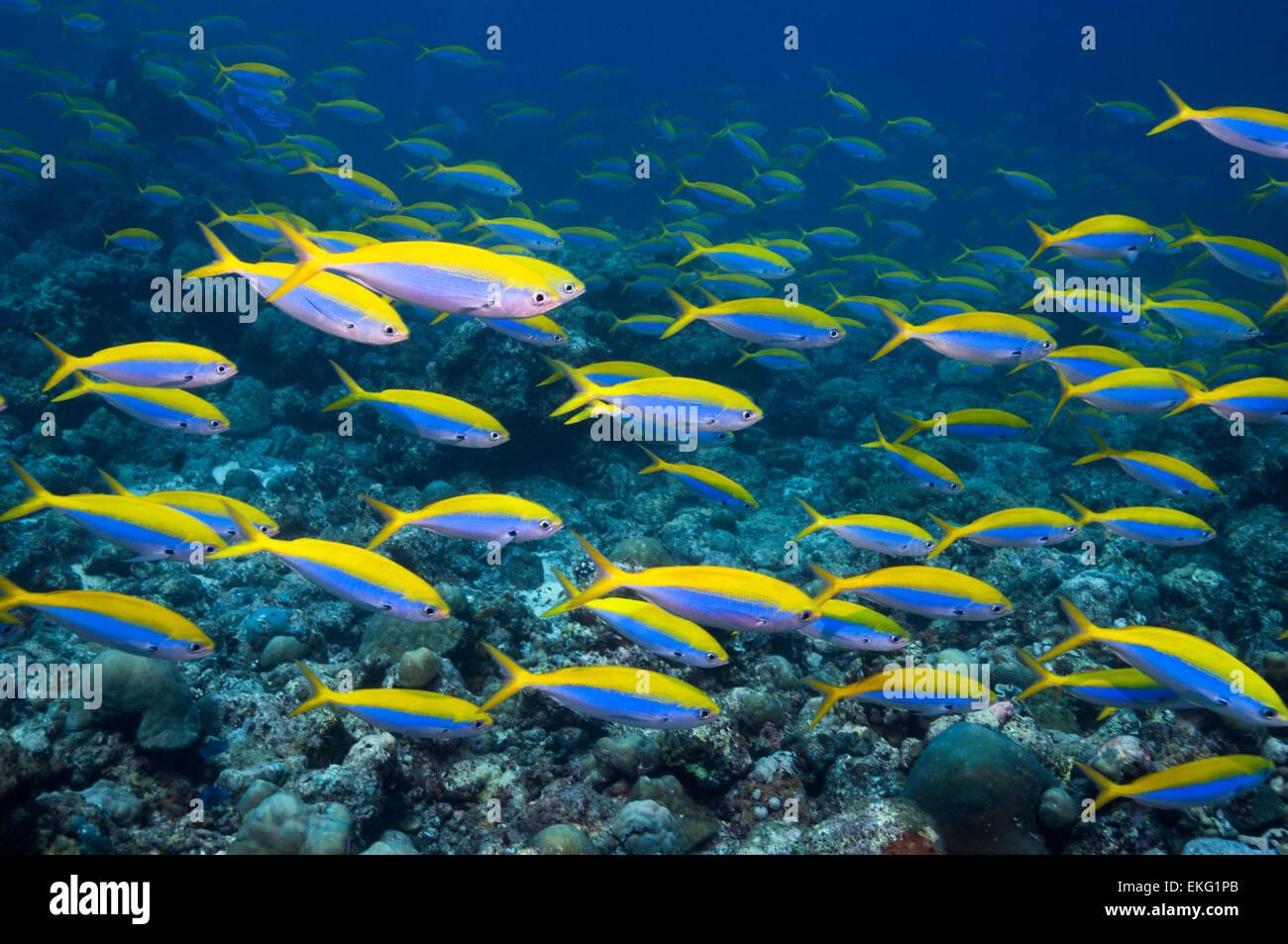 Yellowback fusilier [Caesio xanthonota] school over coral reef.  Maldives. Stock Photo