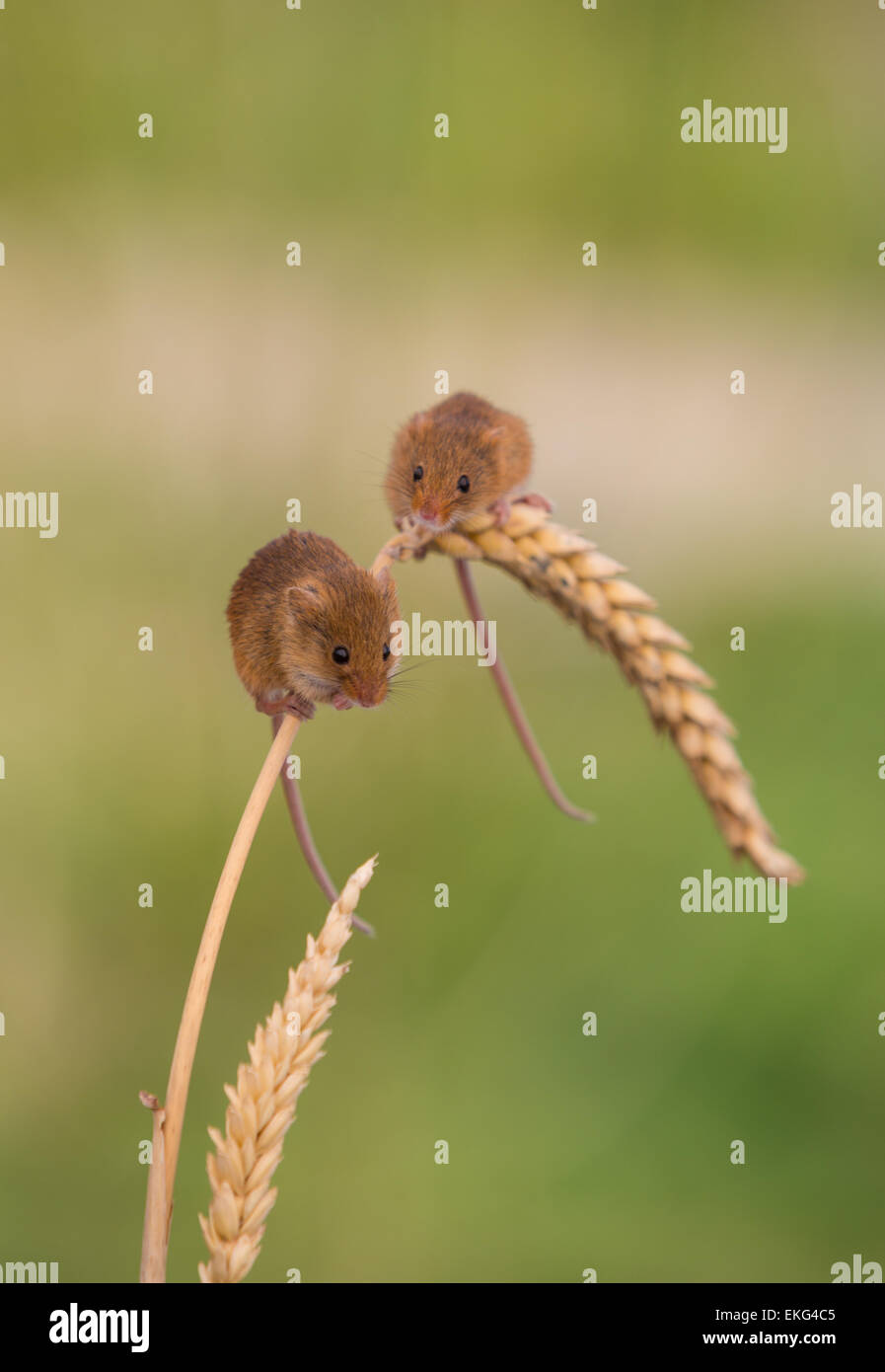 Harvest mice on wheat Stock Photo