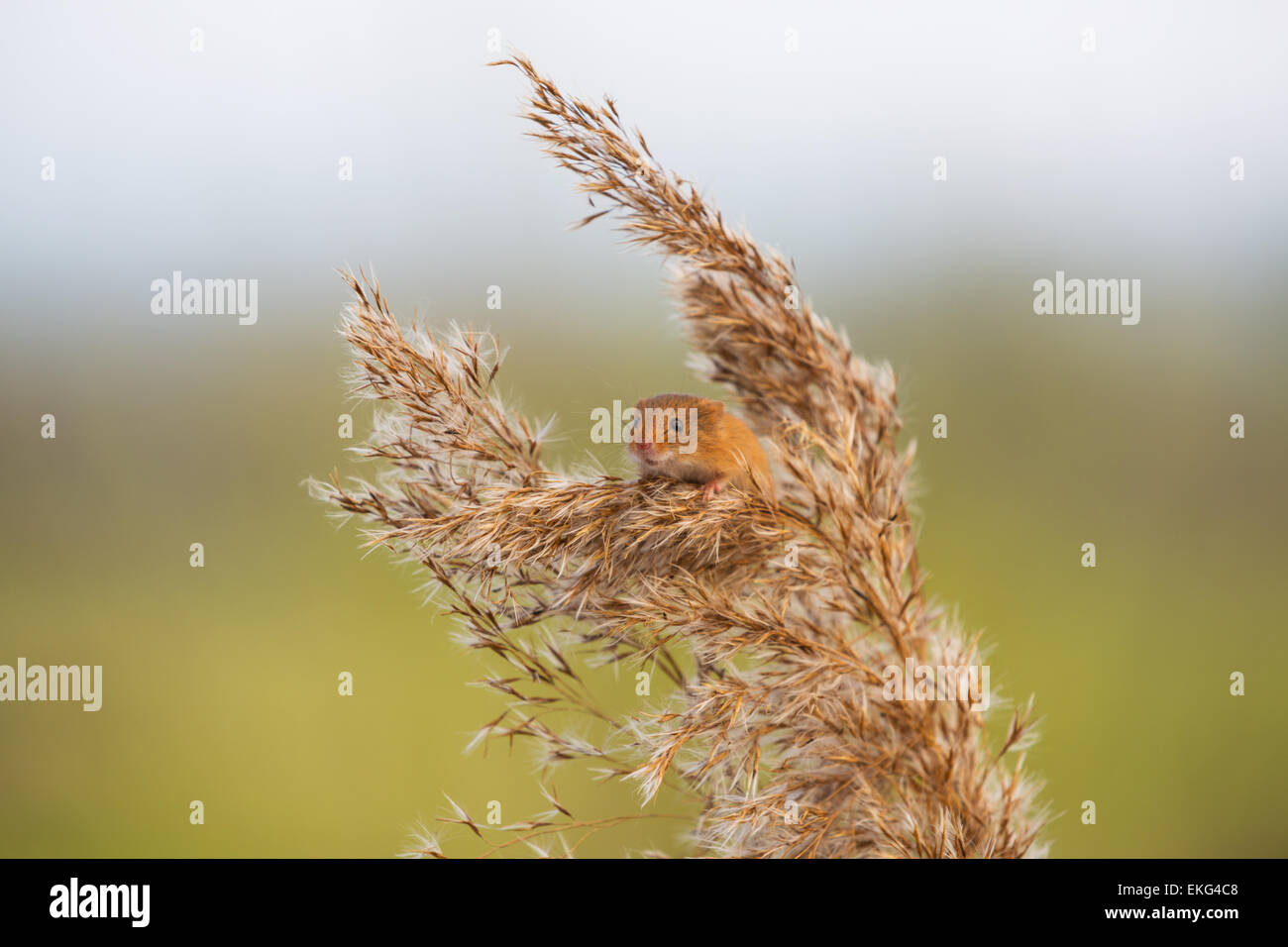 Harvest mouse on wheat - Stock Image