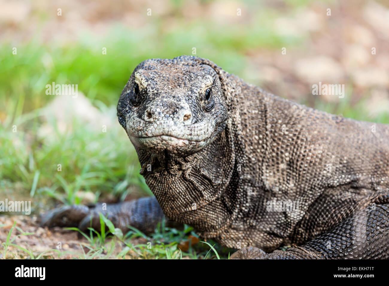 Portrait of  Komodo Dragon (Varanus komodoensis). Rinca Stock Photo