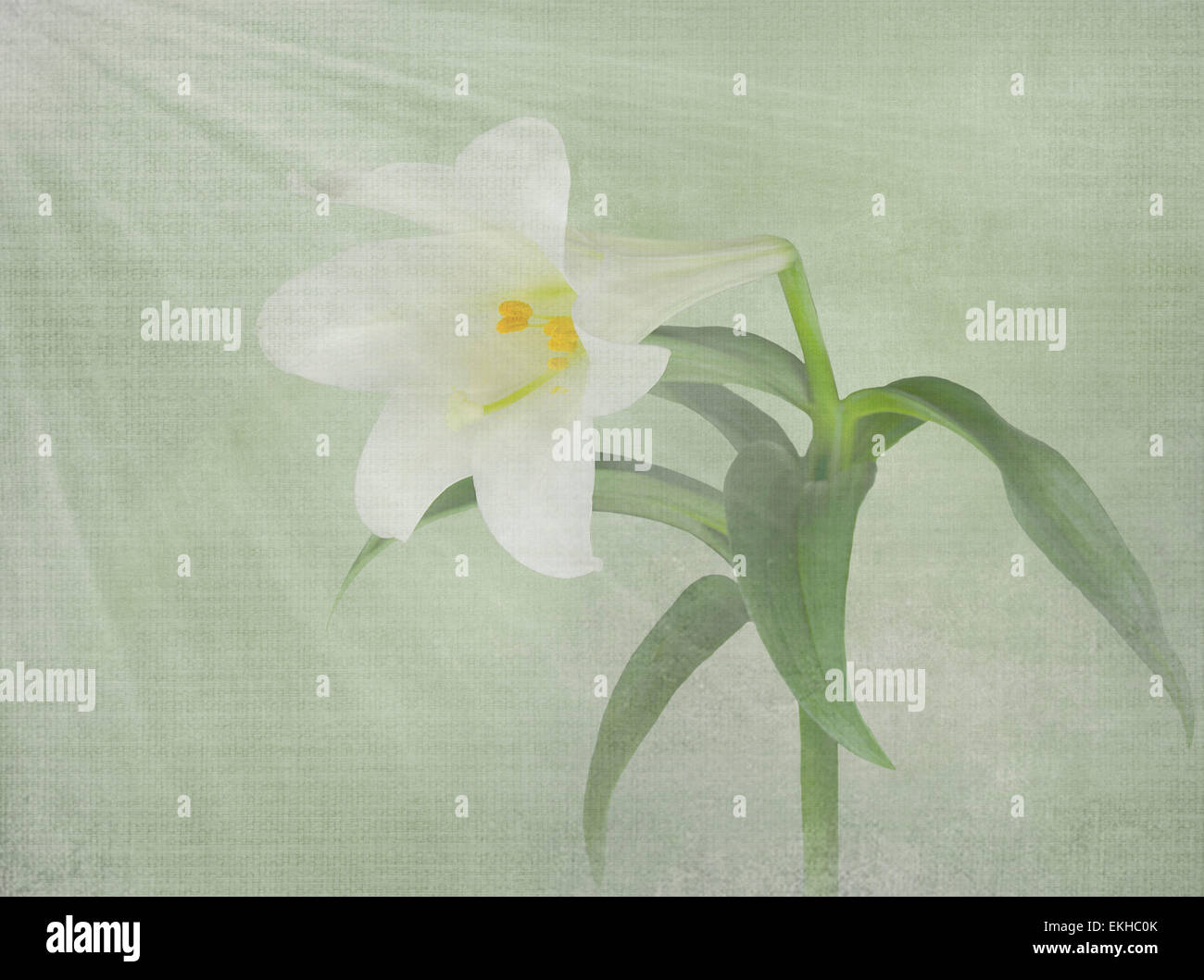 Easter lily bloom with light rays and texture overlay. - Stock Image