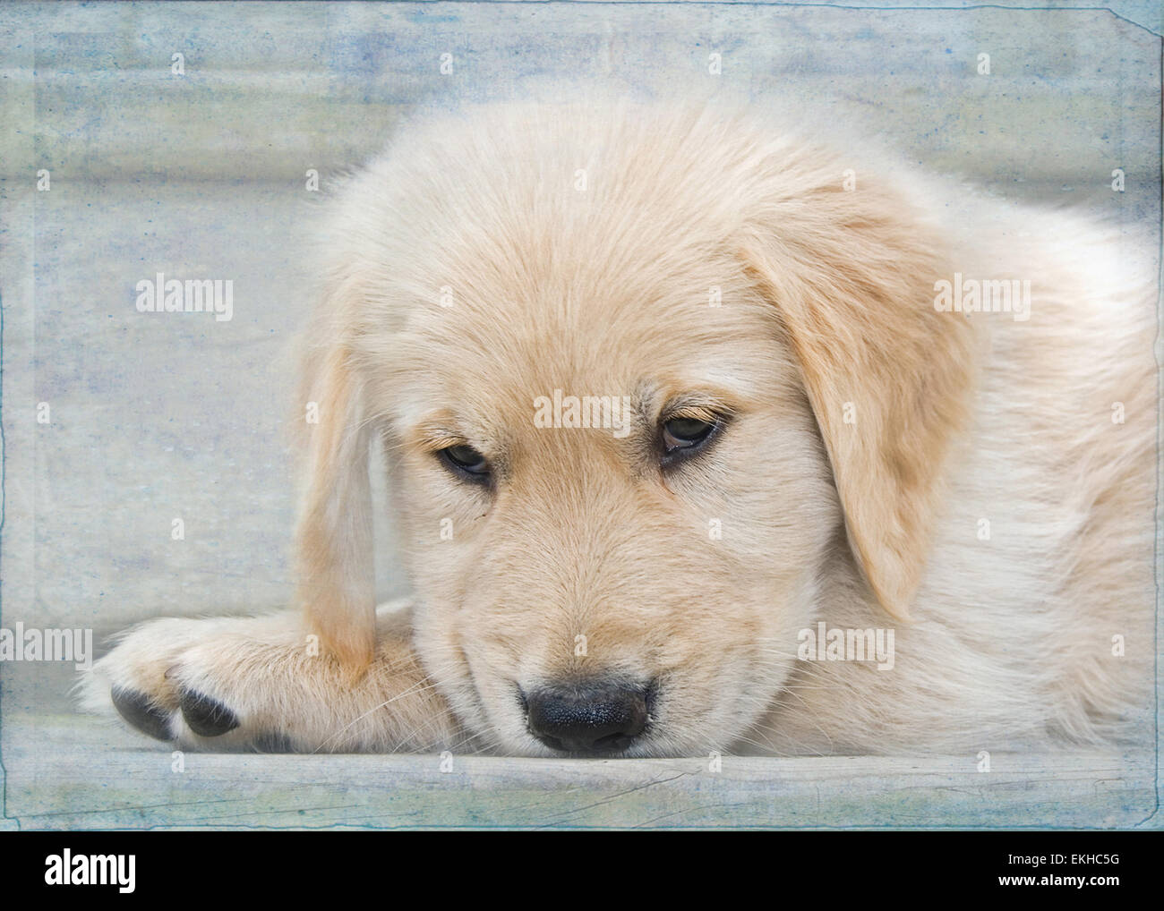 Golden retriever puppy on wooden step with soft texture overlay. - Stock Image