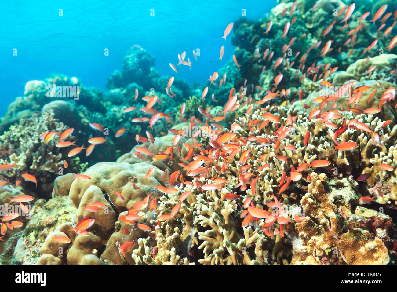 Beautiful view of the coral reef with fishes - Stock Image