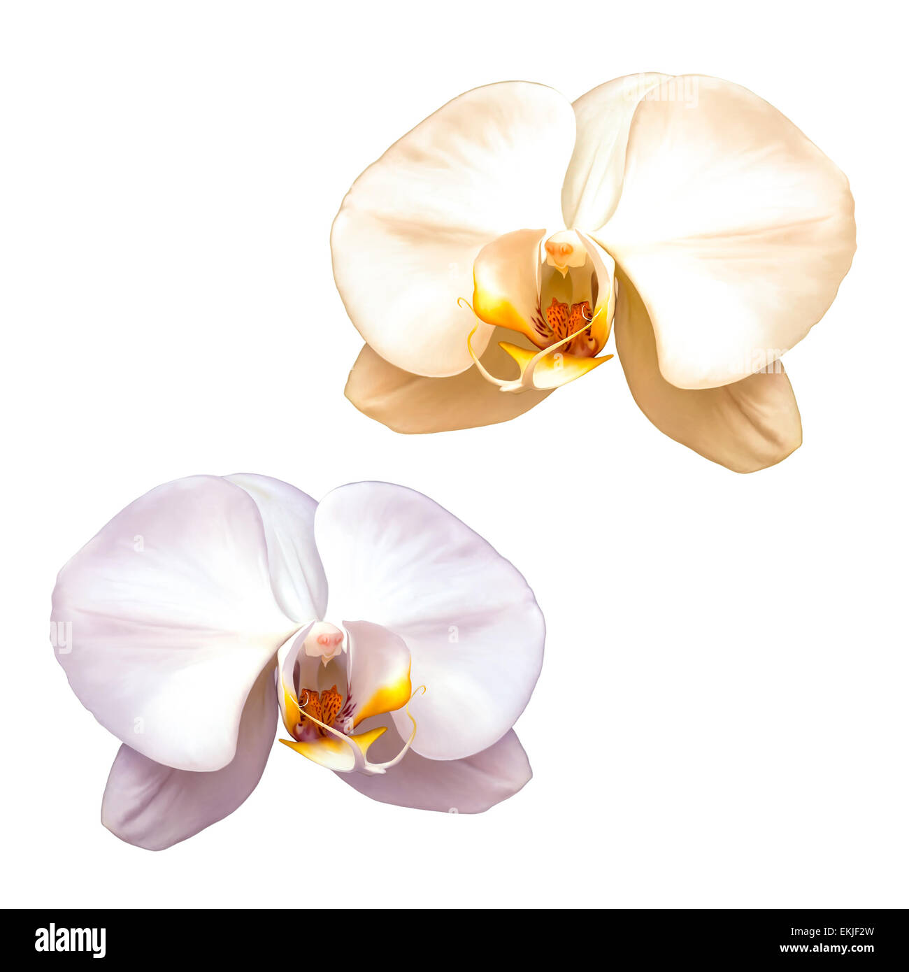 White orchid with red middle isolated on a white background, - Stock Image