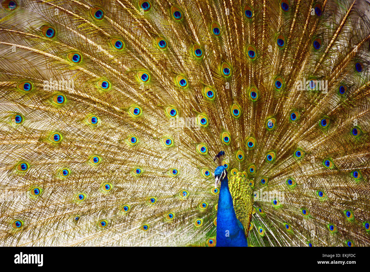 Chengdu, China  10th Apr, 2015  A peacock displaying its feathers in