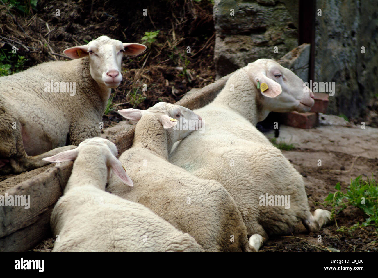 Flog of sheeps lying and resting - Stock Image