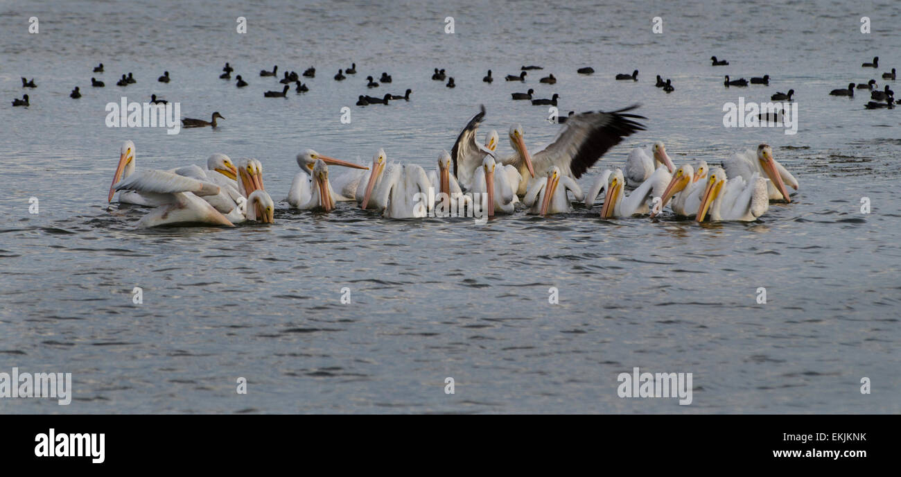A colony of American White Pelicans (Pelecanus erythrorhynchos) feeding on fish at the Tule Lake National Wildlife - Stock Image
