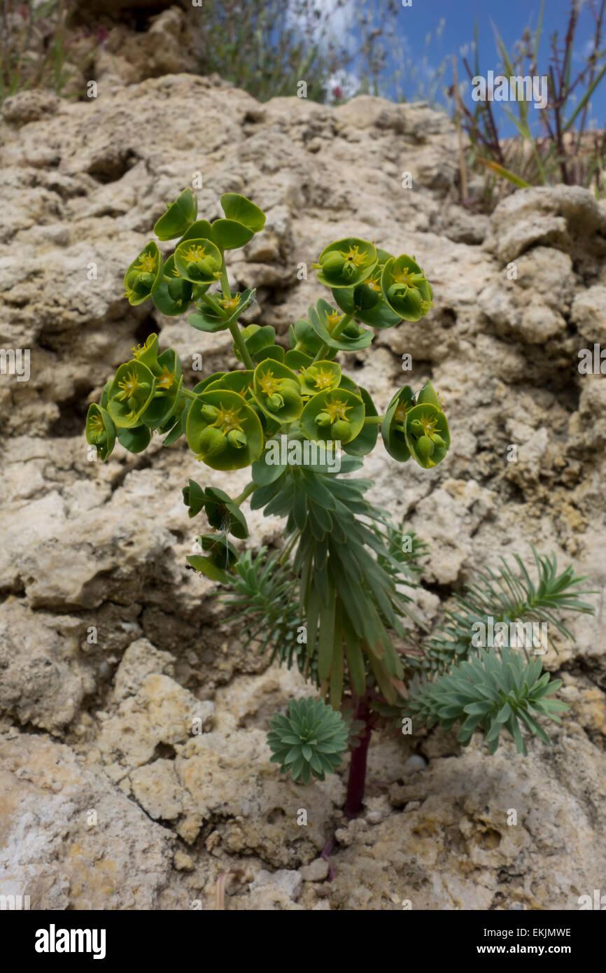 Spurge, Euphorbia spec. , from the Maltese shore at Golden Bay, Mediterranean Sea. - Stock Image