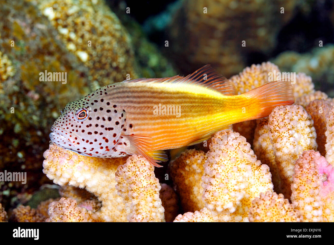 Blackside Hawkfish, Paracirrhites forsteri, resting on hard corals on the reef. Also known as Freckled Hawkfish. - Stock Image