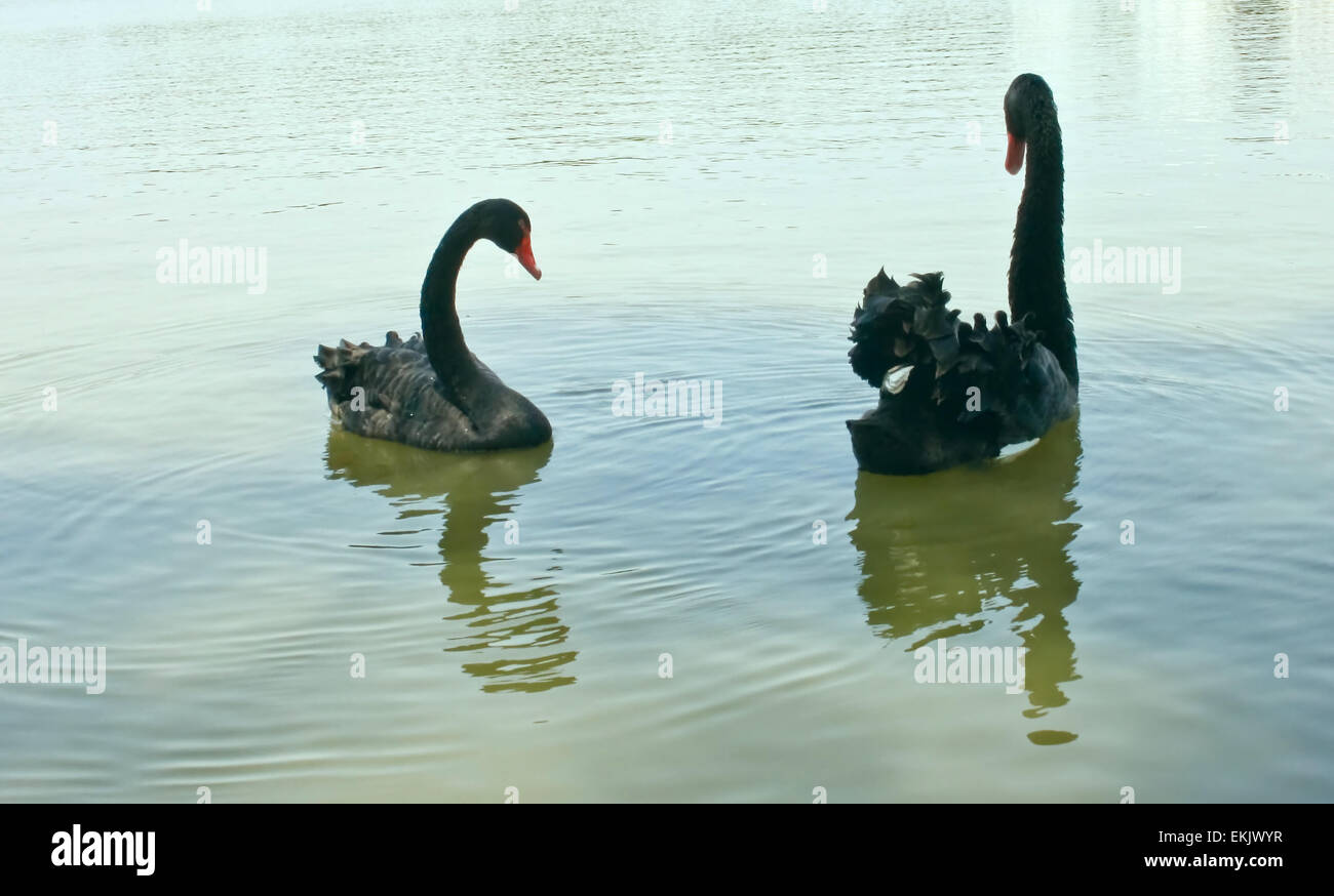graceful birds - a pair of black swans. Stock Photo