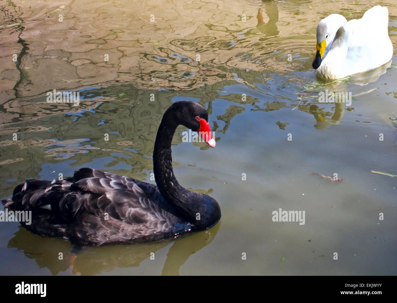 graceful birds - a pair swans. Stock Photo