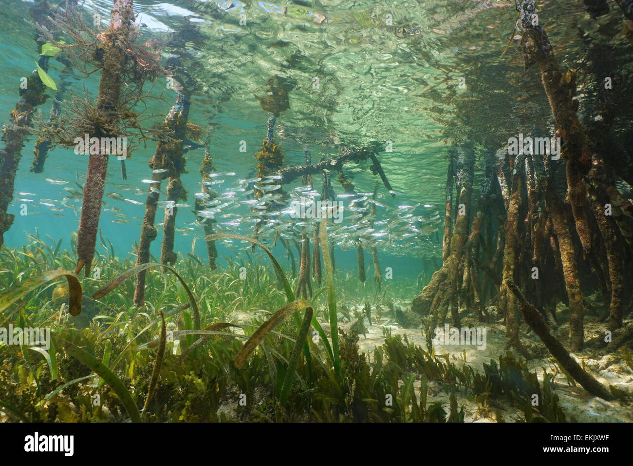 Mangrove ecosystem underwater with school of juvenile fish and tree roots of Rhizophora mangle, Caribbean sea - Stock Image
