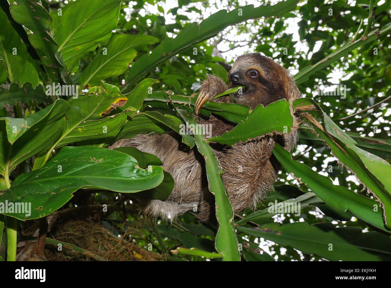Young three-toed sloth eating a leaf in the jungle of Costa Rica, wild animal, Central America Stock Photo