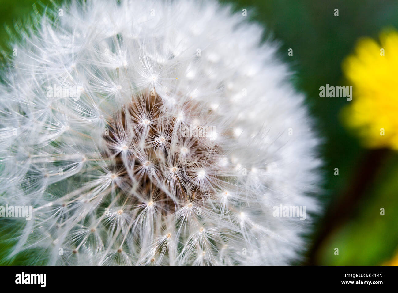 White mute swan feather on Common Dandelion clocks, blowballs (Taraxacum officinale) - Stock Image