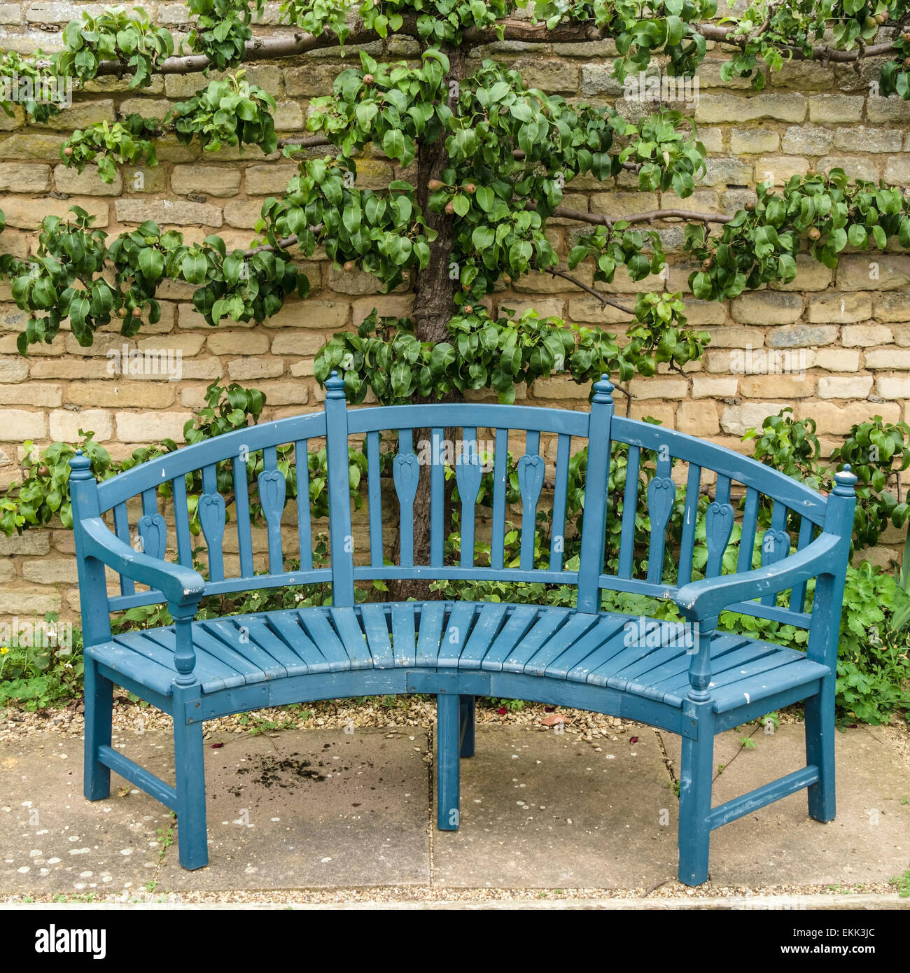 Blue wooden garden bench seat in front of trained pear tree grimsthorpe castle bourne lincolnshire england uk