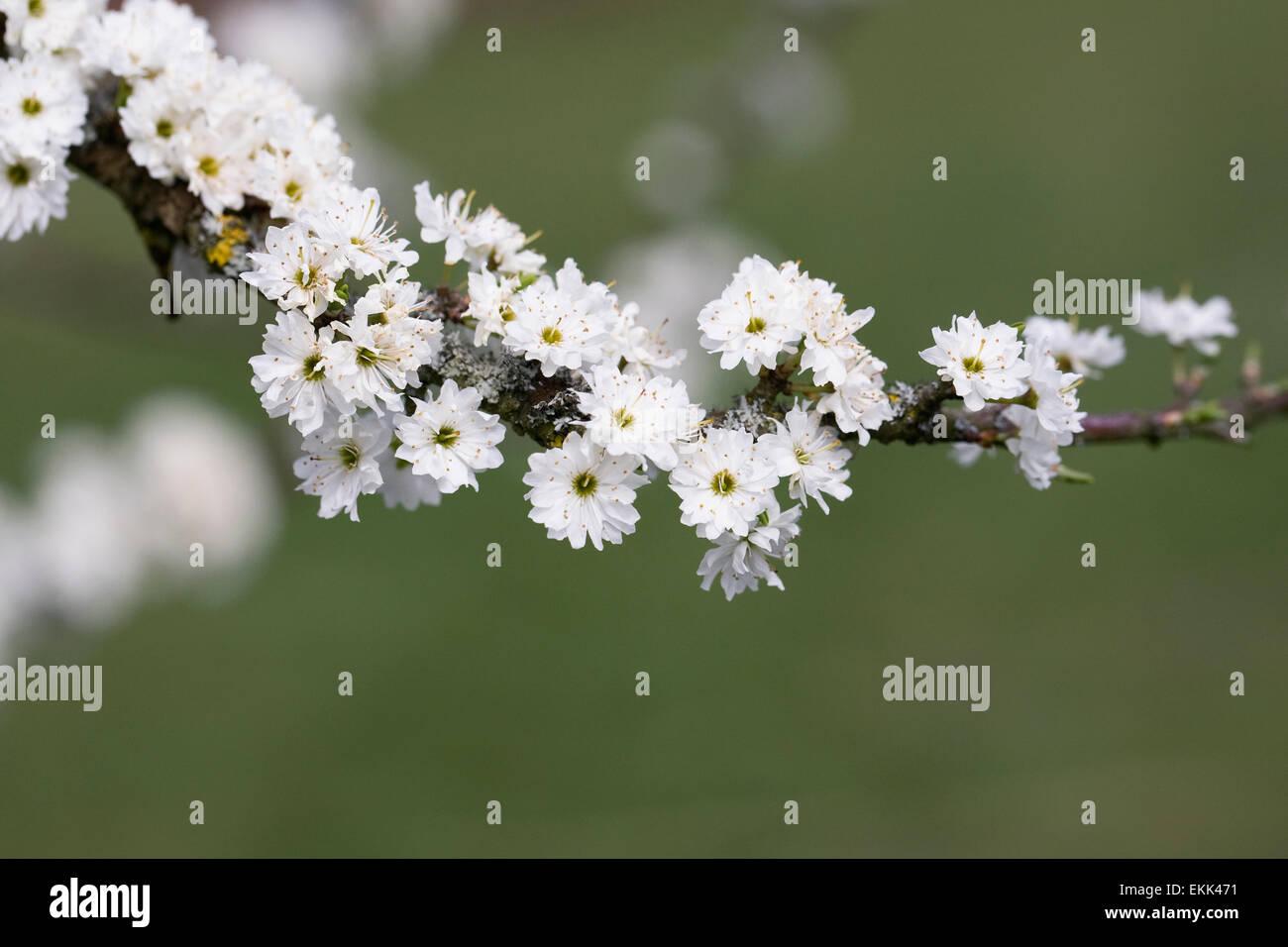 Prunus spinosa 'Plena'. Blackthorn flowers in Spring. - Stock Image