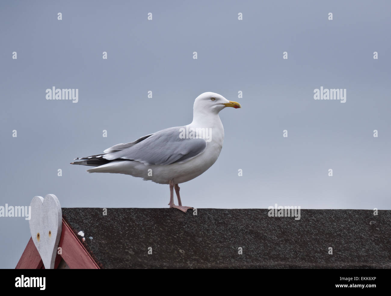 A seagull sat on a beach hut roof  Laridae - Stock Image