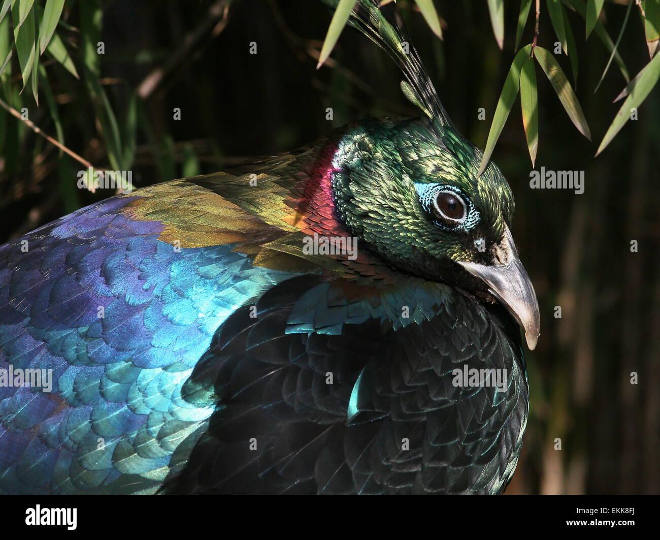 Male Himalayan Monal Pheasant Lophophorus Impejanus A K A Impeyan Monal Or Danphe Stock