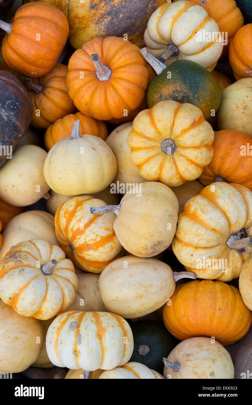 Cucurbita. Pumpkins Squashes and Gourds - Stock Image