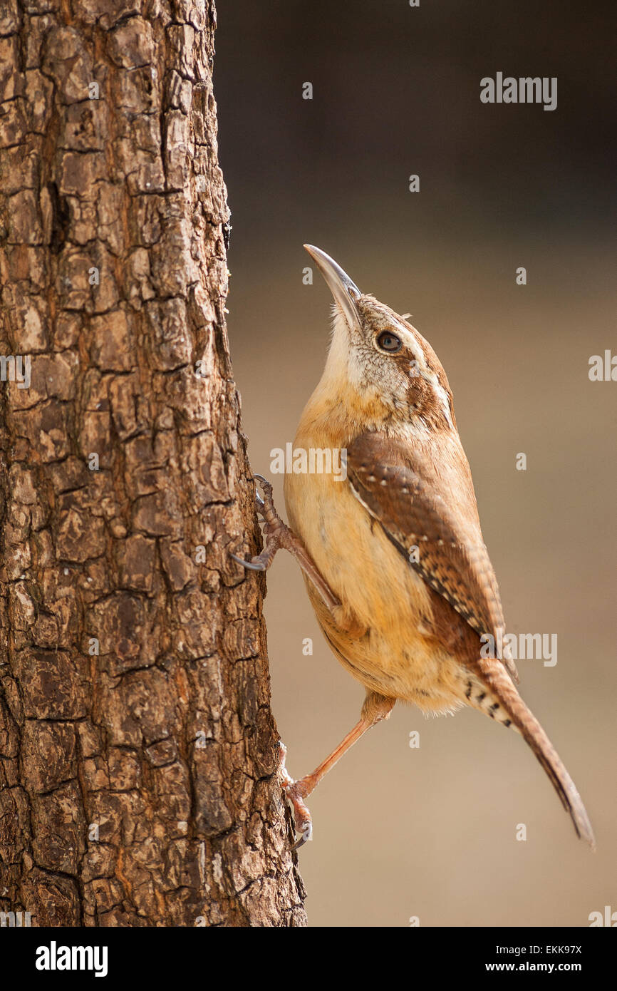 A Carolina wren navigating up a pine tree trunk in search of food. - Stock Image