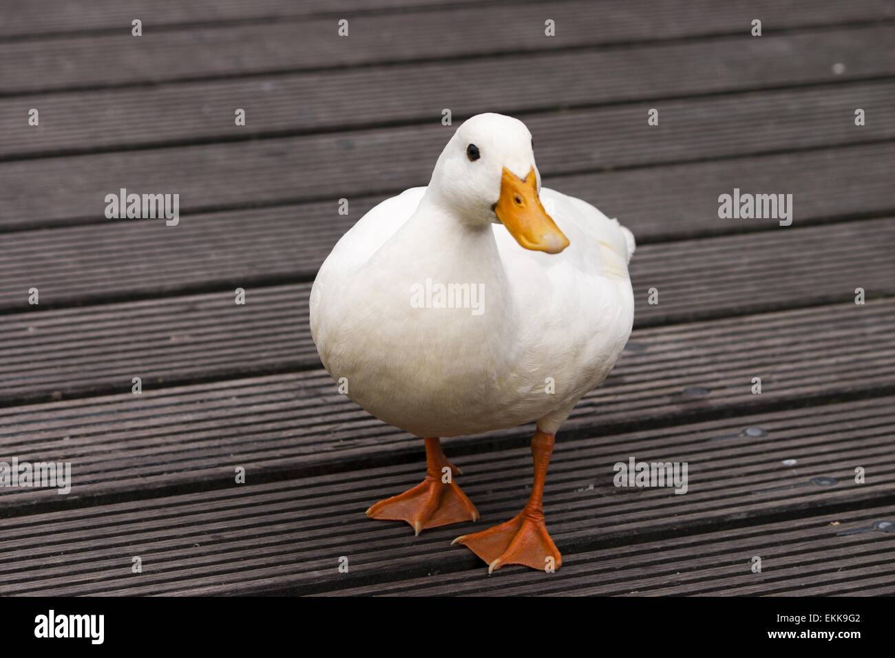White duck on a wooden platform - Stock Image