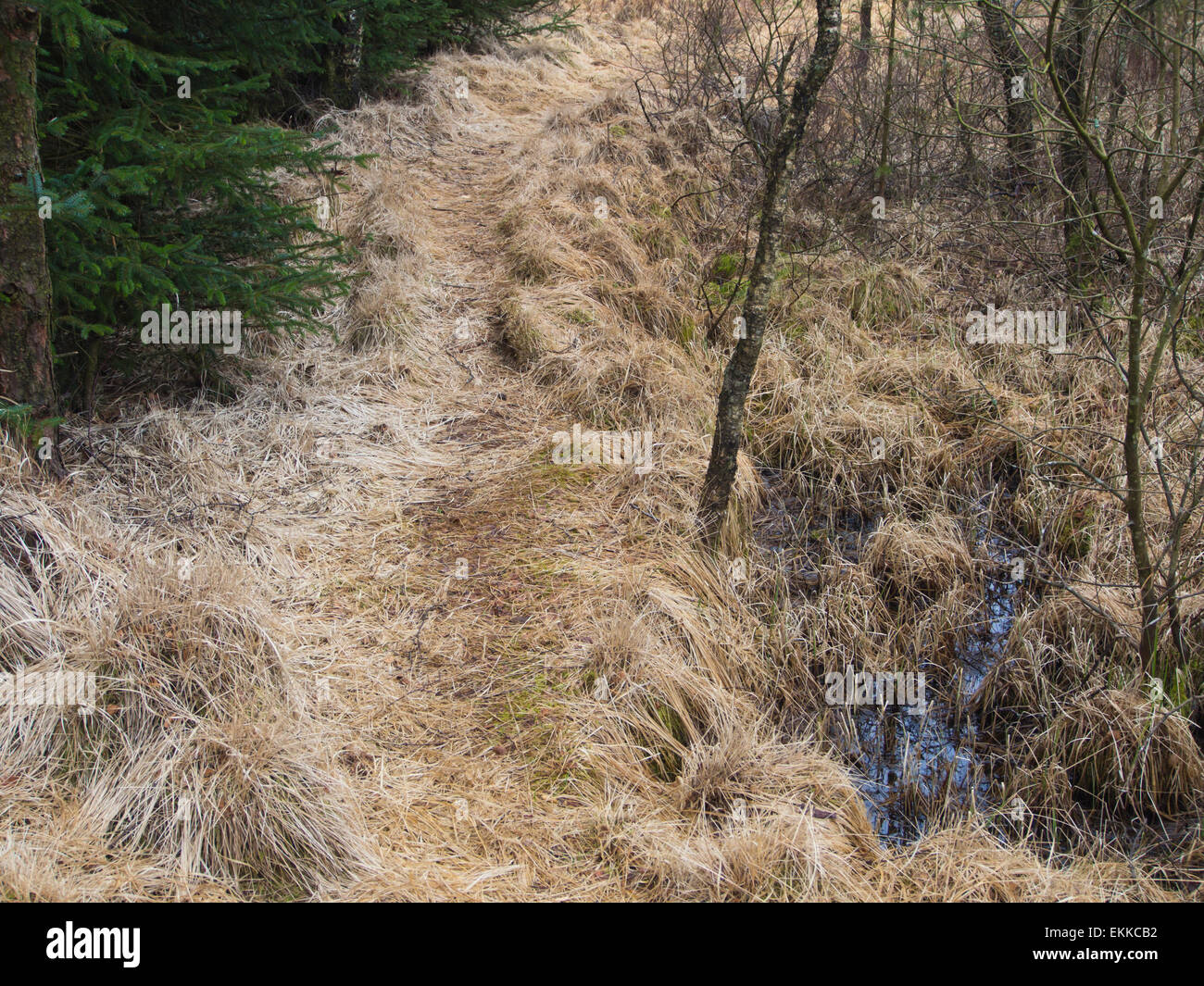 Early springtime in a Norwegian forest, soggy moor and lots of dry grass and a  footpath , spruce and bare branches, - Stock Image