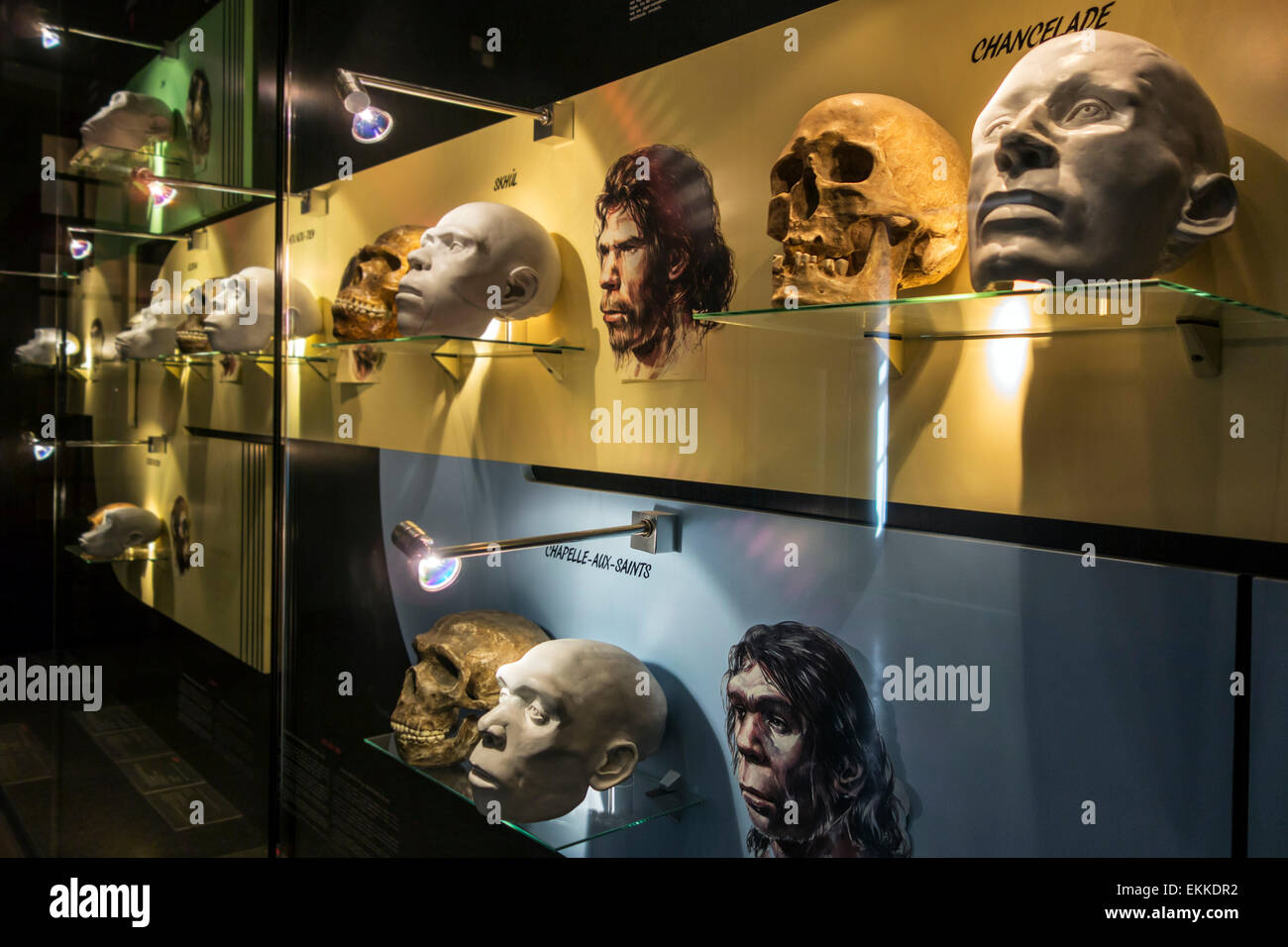 Prehistoric heads and skulls showing human evolution in prehistory gallery in the Cinquantenaire Museum, Brussels, - Stock Image