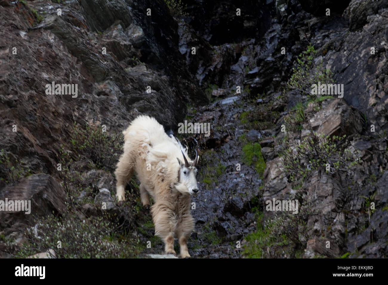 Fading mountain goat among rocks. Rocky mountains. Banff National park. Alberta. Canada. - Stock Image