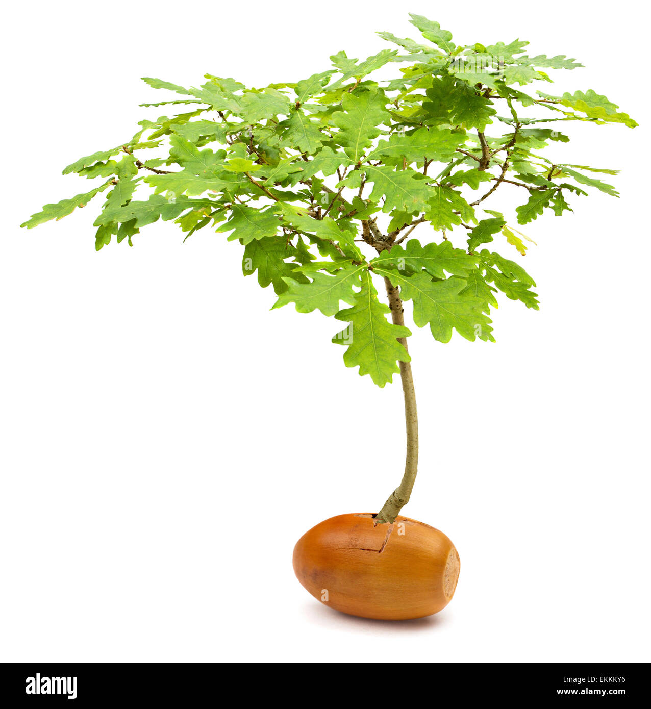 Conceptual manipulated image of a mighty oak tree Quercus robur growing out of a small acorn on white background - Stock Image
