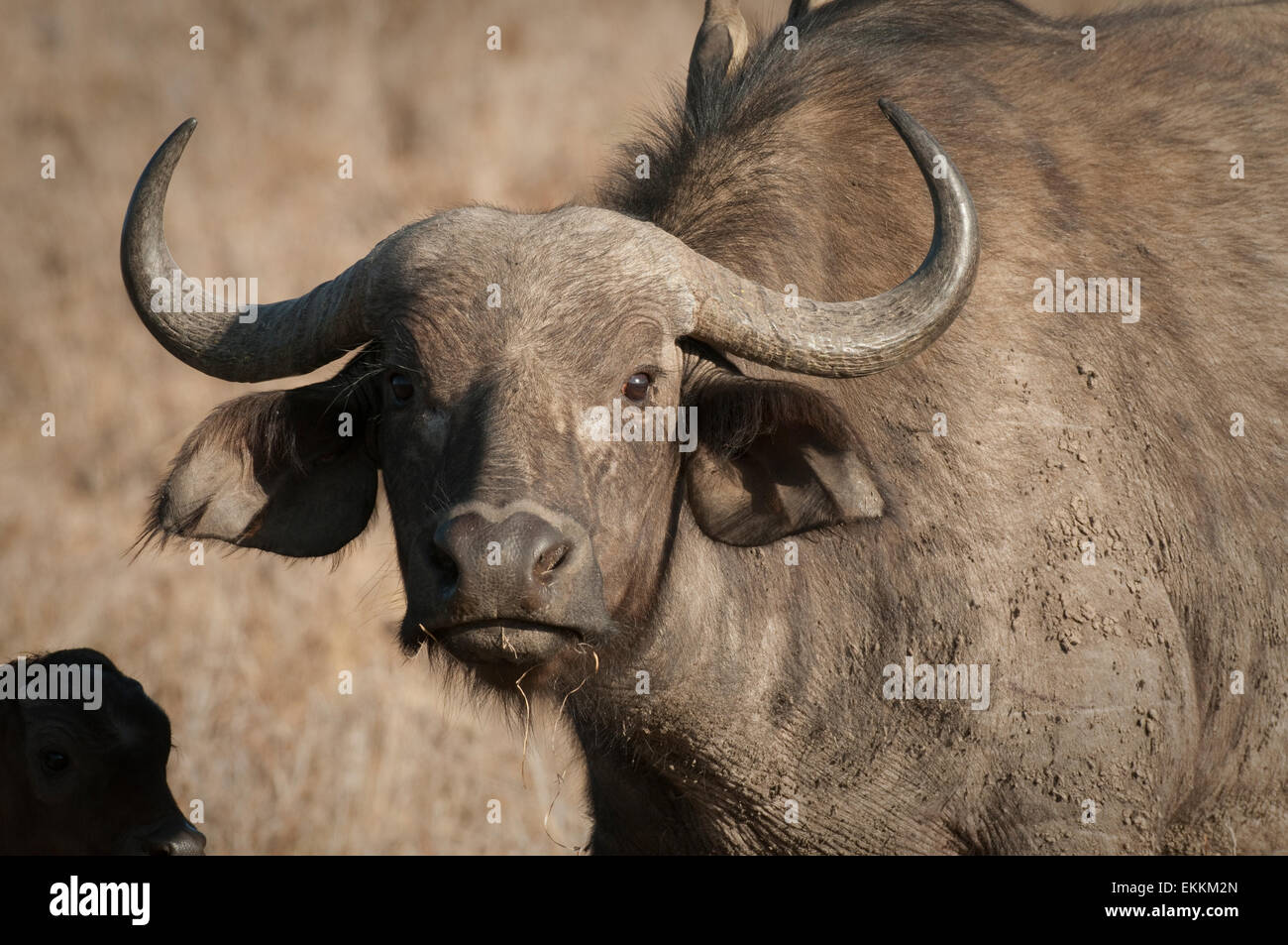 Head shot of Cape Buffalo - Stock Image