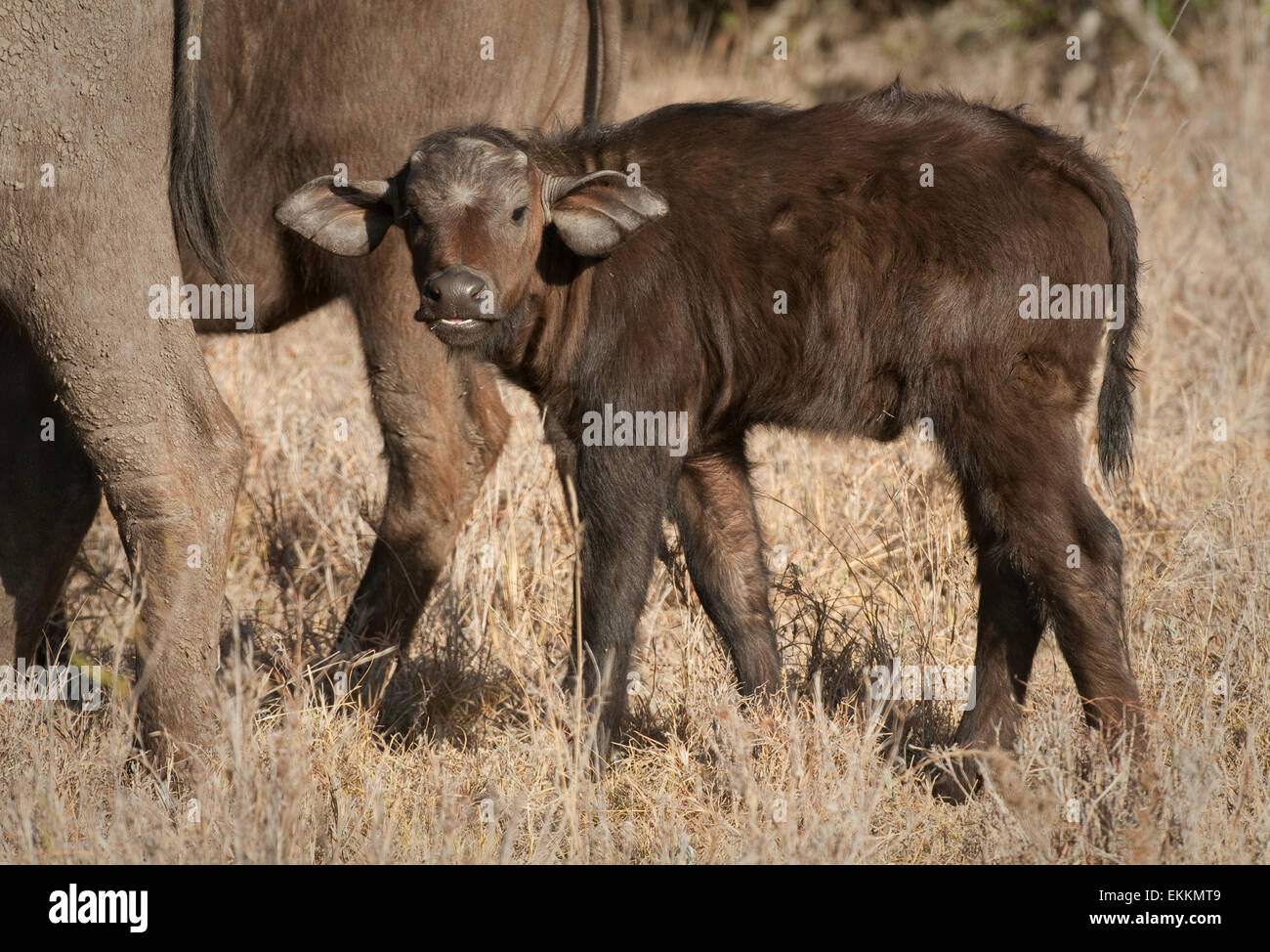 Baby Cape buffalo standing by mother's side - Stock Image
