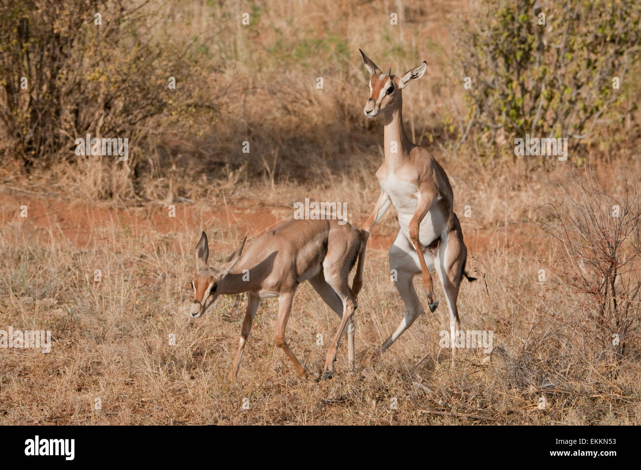 Two young Grant's Gazelles, one trying to mount other - Stock Image