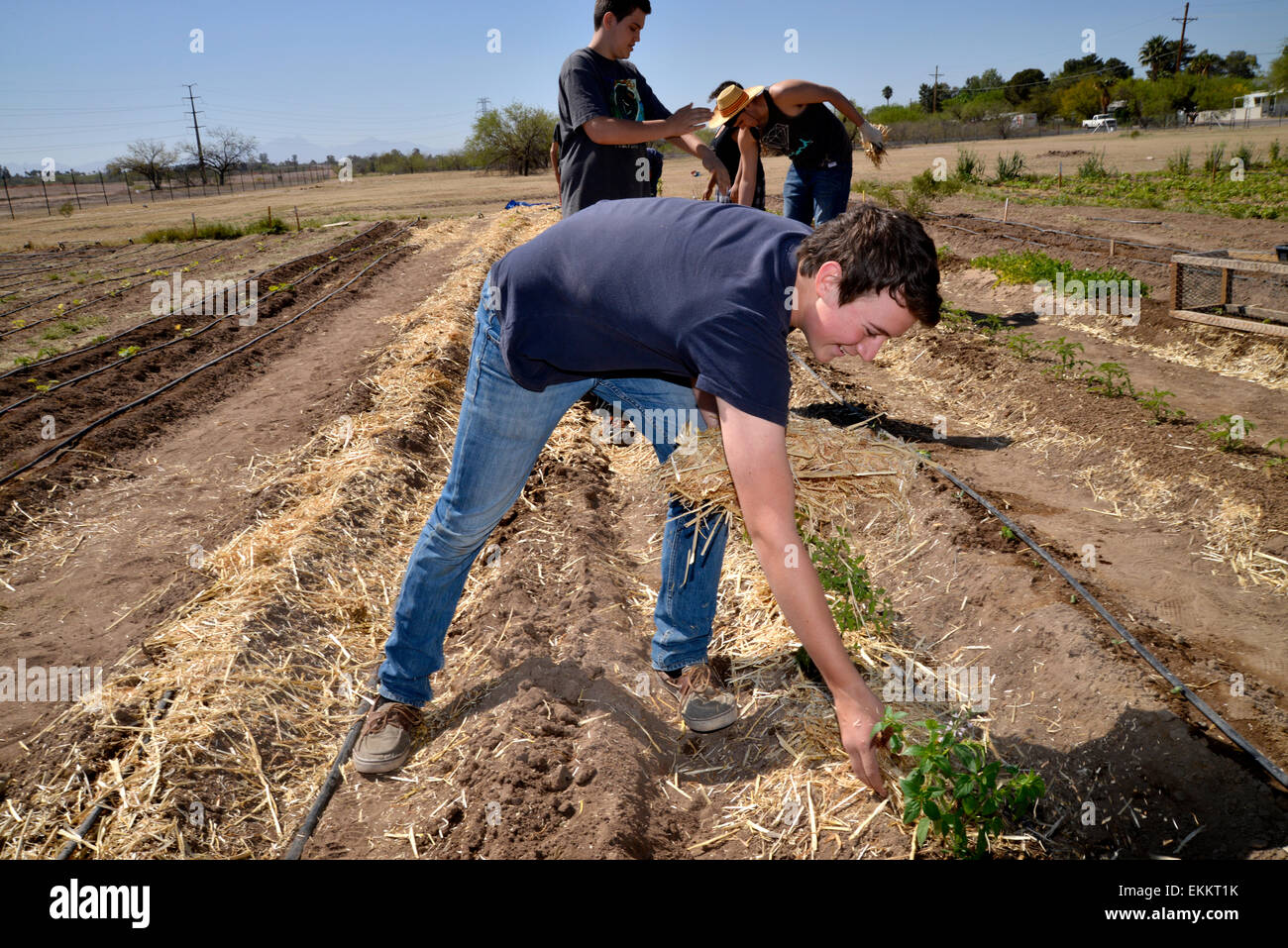 Student and adult volunteers work to produce food for needy families on a Chávez Day of Service, Tucson, Arizona, - Stock Image