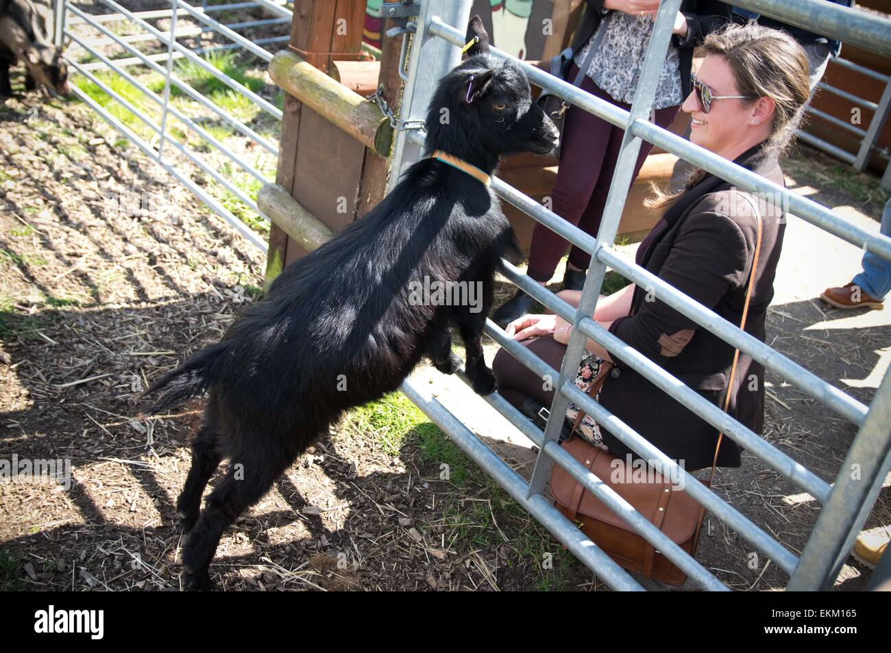 London, United Kingdom. 11th Apr, 2015. The racing goat 'Oxford' seen interacting with people before the - Stock Image